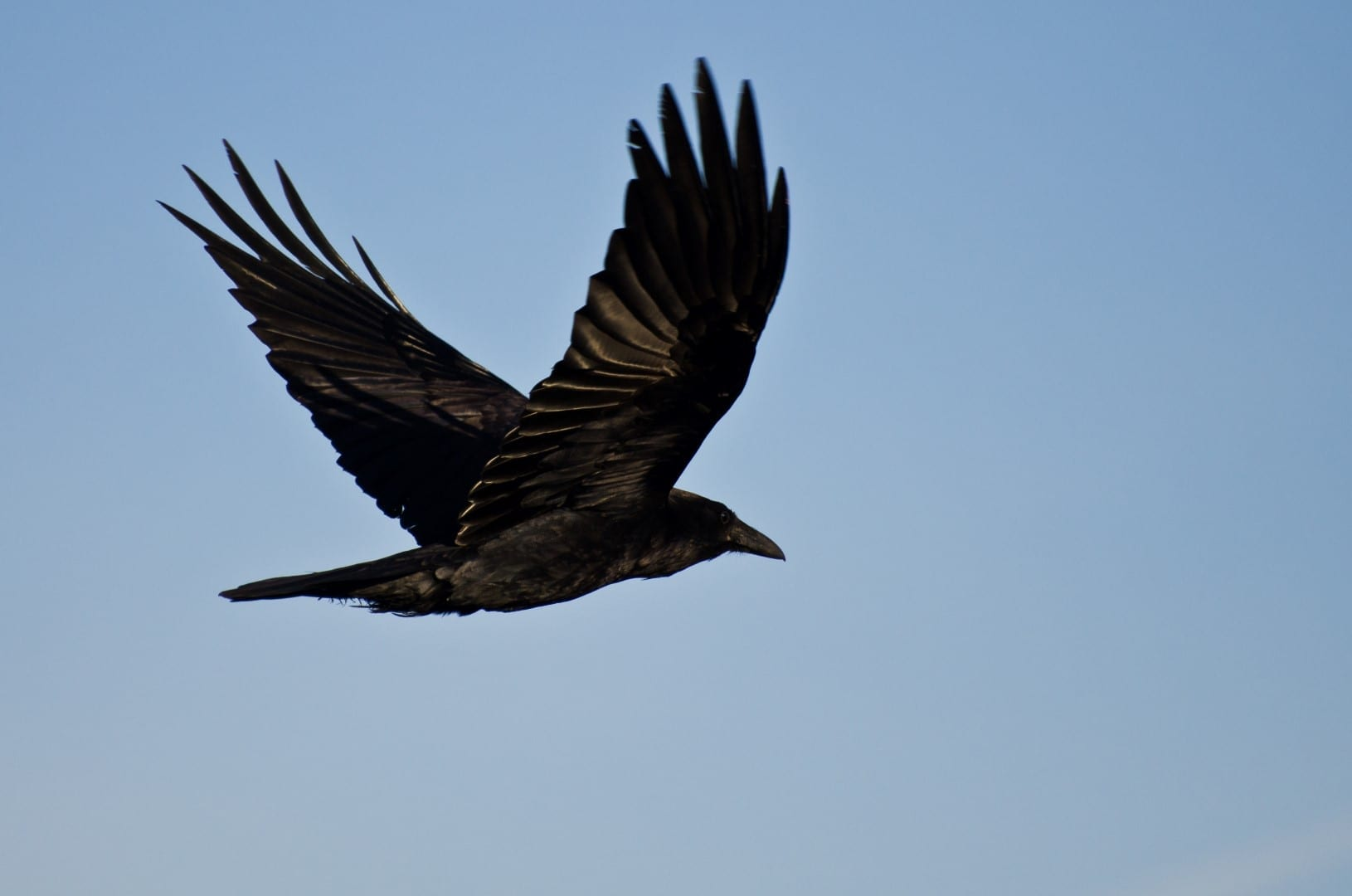 Why Ravens Are The World S Most Fascinating Bird