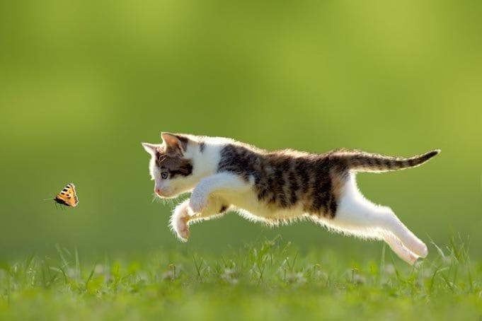 Katze, Ktzchen im Sprung