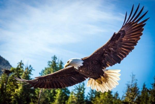 Eagle flying over forest