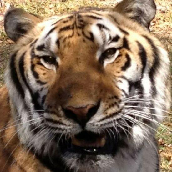CARE Tiger