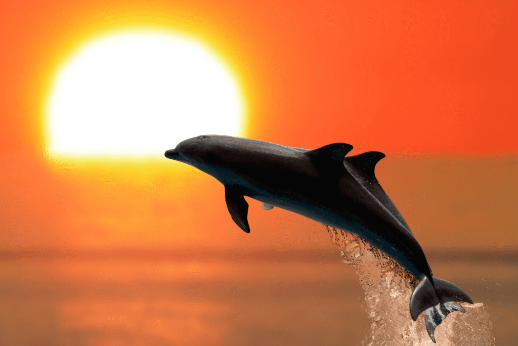 two dolphins jumping out of the ocean in front of an orange sunset