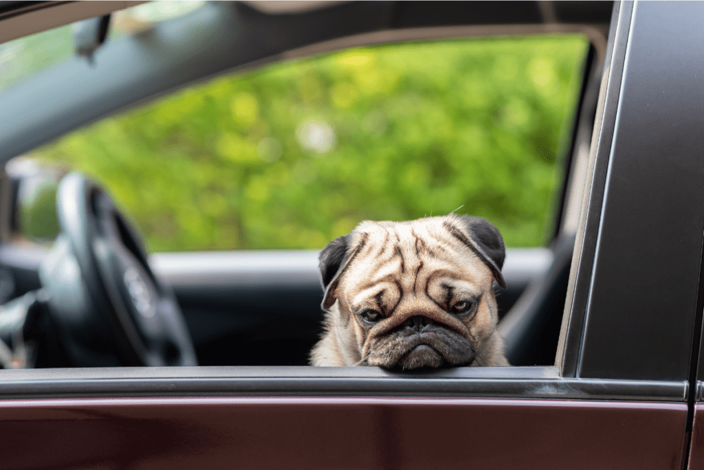 a pug looking out the window of a car