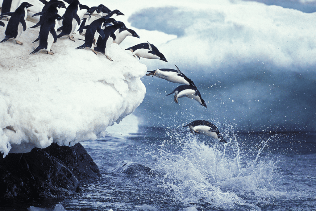 penguins jumping off the ice into the water