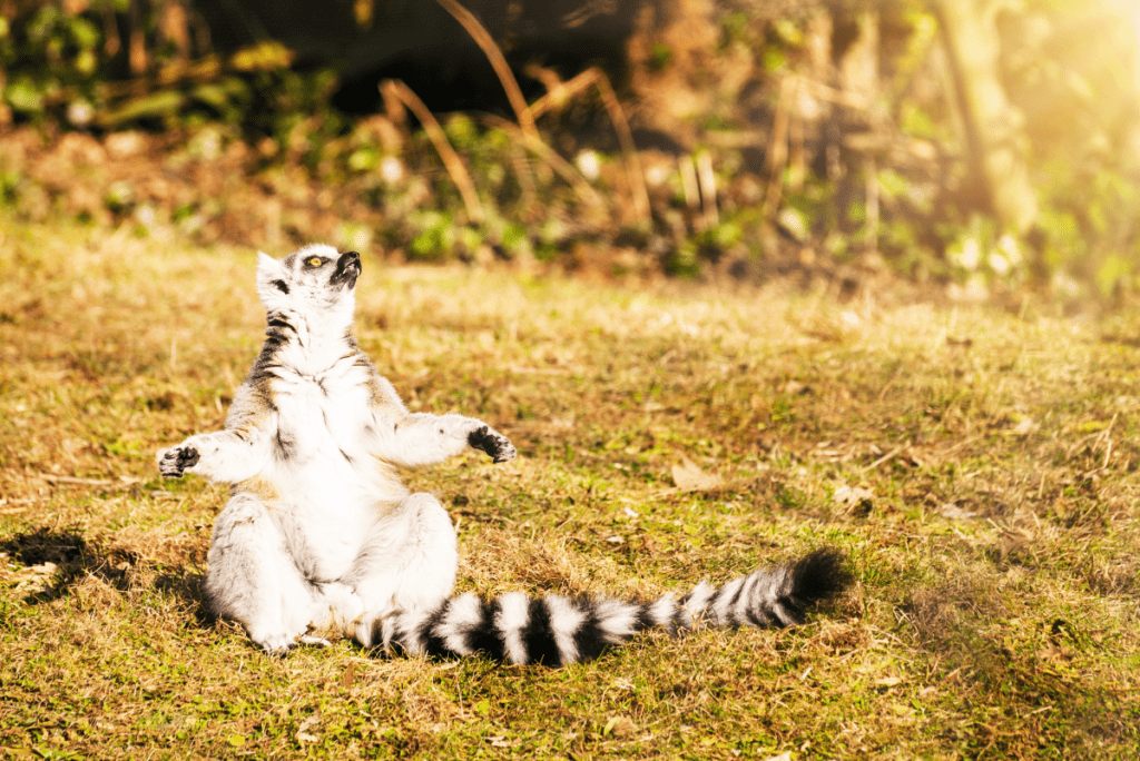 a lemur sitting as if meditating in the grass