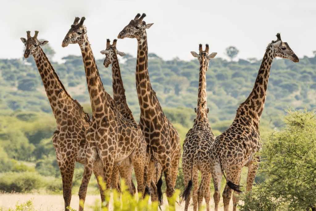 6 giraffes standing together