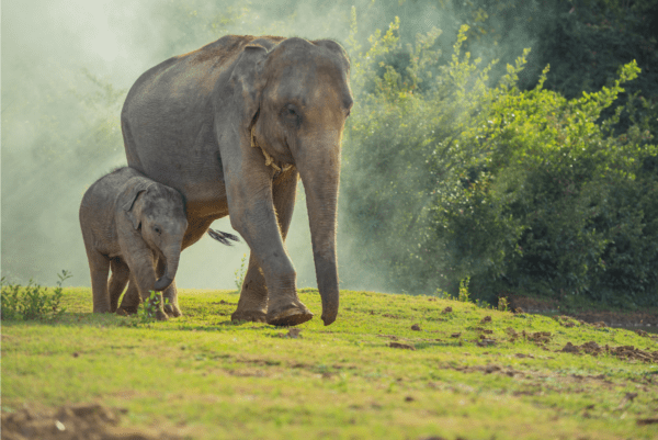a bigger elephant walking with a smaller baby elephant on green grass