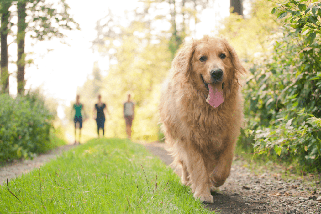 a golden retriever walking down a path in the grass with people walking behind