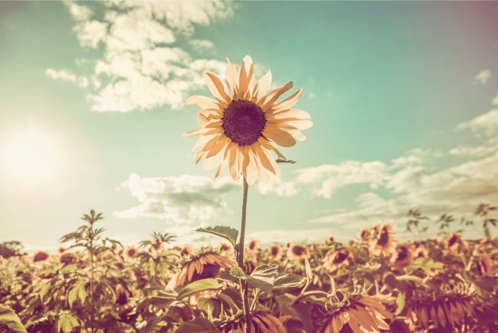 a sunflower in a sun lit field