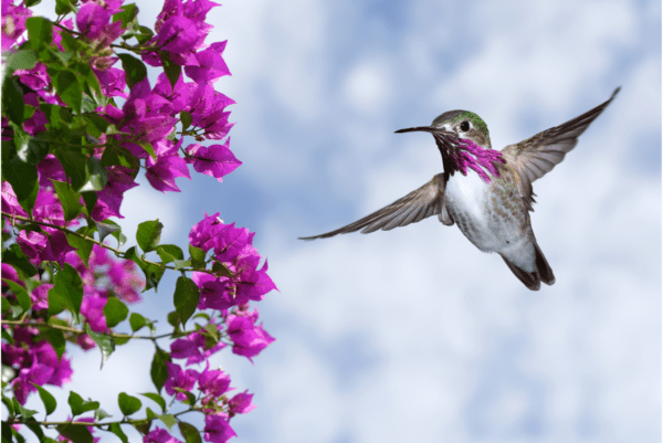 a hummingbird flying next to purple flowers