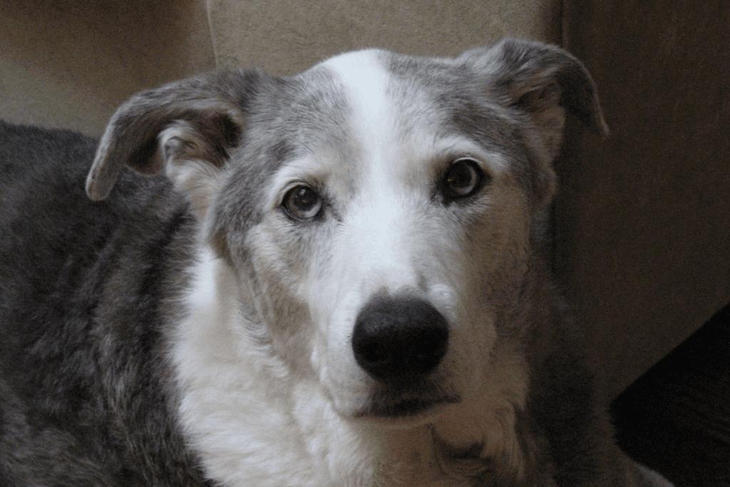 a white grey and black dog named dakota