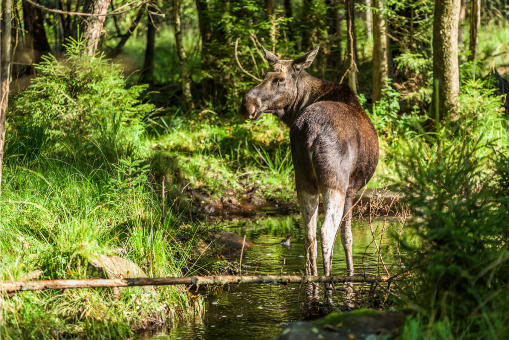 a moose crossing a stream in the forest